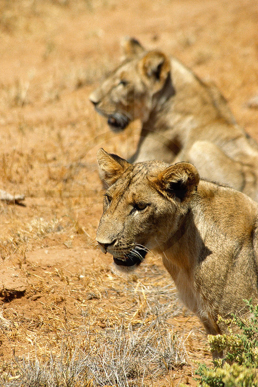 Lionesses, Samburu National Reserve, Kenya