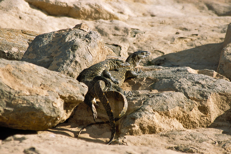 Couple of Nile monitors, shore of Lake Baringo, Kenya