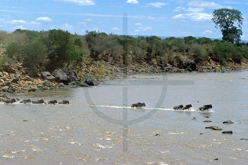 Wildebeest and zebra crossing the Mara River, Masai Mara National Reserve, Kenya