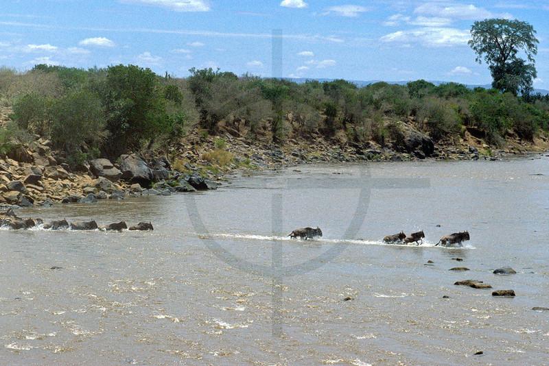 Wildebeest and zebra crossing the Mara River, Masai Mara National Reserve, Kenya