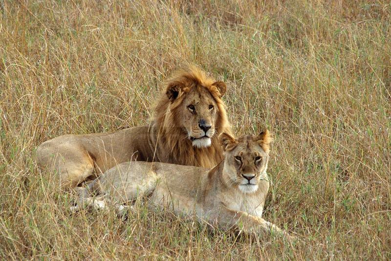 Pair of lions at rest, Masai Mara National Reserve, Kenya