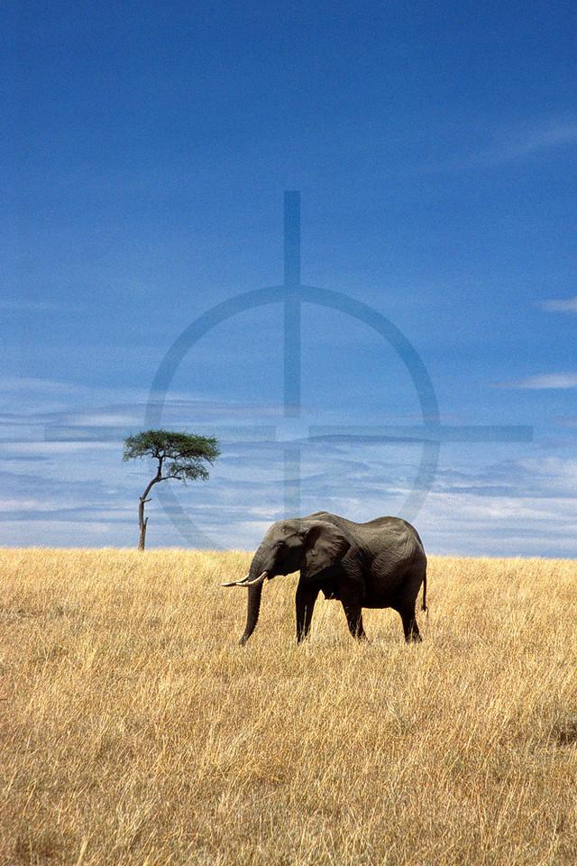 Elephant on the open savanna, Masai Mara National Reserve, Kenya