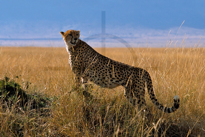 Cheetah on the lookout, Masai Mara National Reserve, Kenya