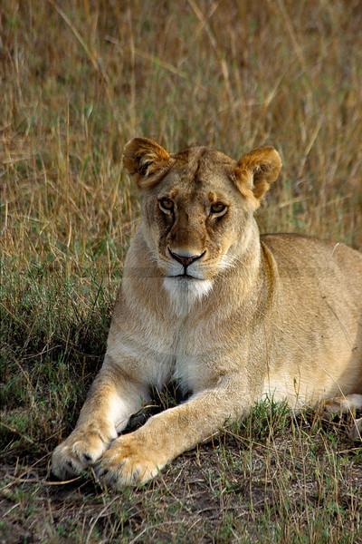 Lioness at rest, Masai Mara National Reserve, Kenya