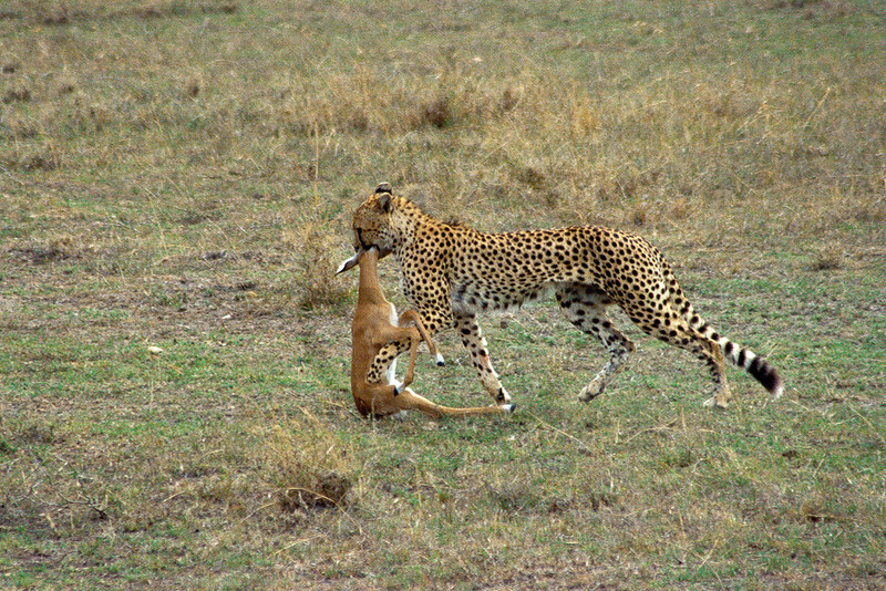 Cheetah carrying prey, Masai Mara National Reserve, Kenya