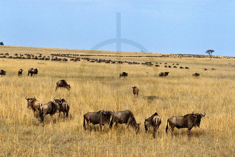 The migration, Masai Mara National Reserve, Kenya