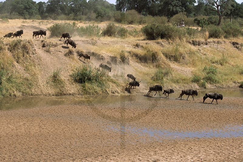 Wildebeest crossing a river, Masai Mara National Reserve, Kenya