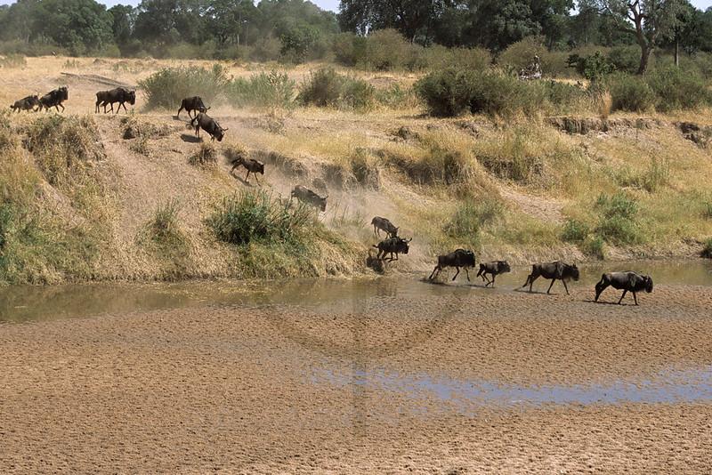 Wildebeest crossing a river, Masai Mara National Reserve, Kenya