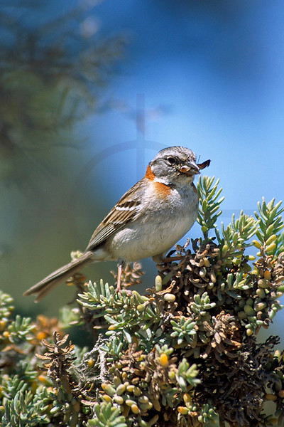 Rufous-collared sparrow feeding, Valdes Peninsula, Argentina