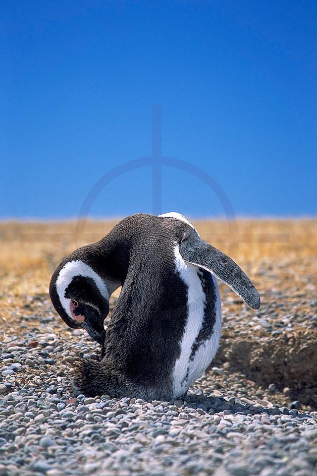 Magellanic penguin grooming itself, Provincial Reserve Punta Tombo, Argentina