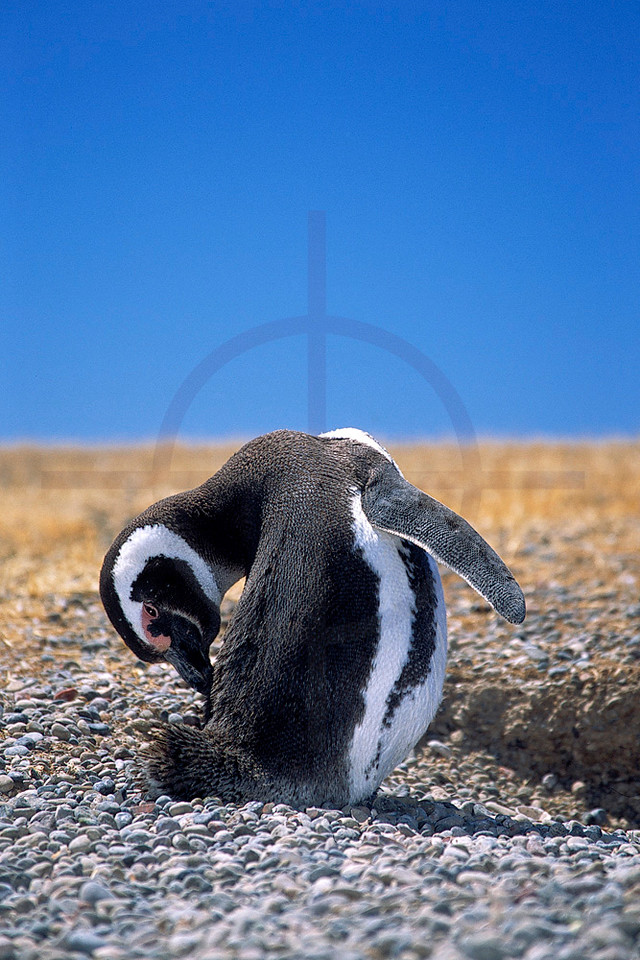 Magellanic penguin grooming itself, Provincial Reserve Punta Tombo, Argentina