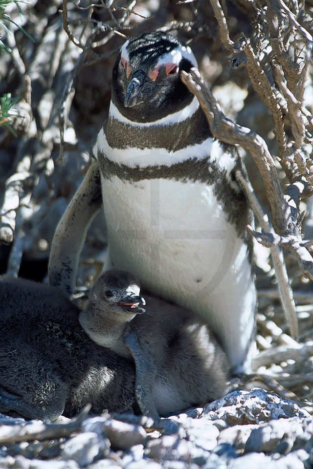 Magellanic penguin with chick, Provincial Reserve Punta Tombo, Argentina