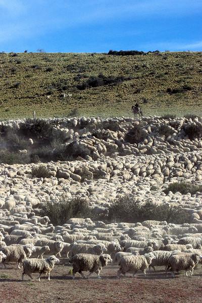Herd of sheep with gaucho, near El Calafate, Santa Cruz, Argentina