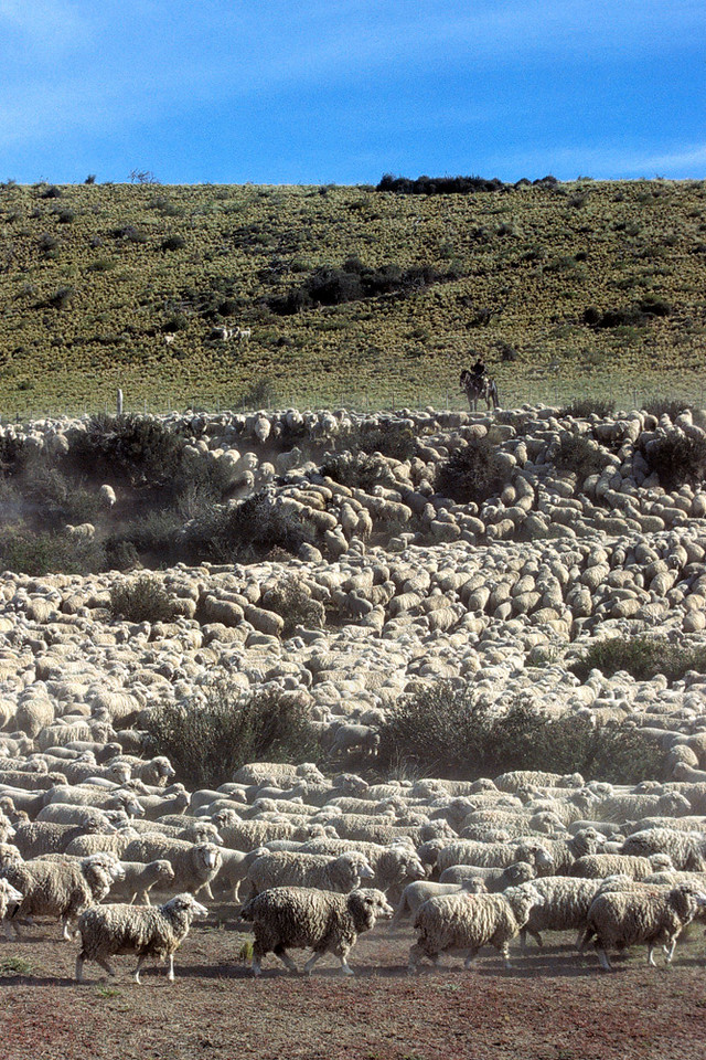 Herd of sheep with gaucho, near El Calafate, Santa Cruz, Argentina
