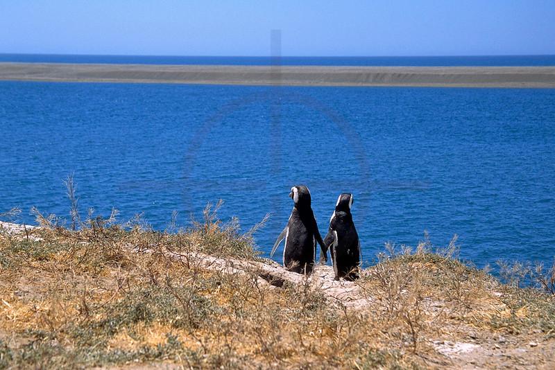 Magellanic penguins having a panoramic view, Provincial Reserve Punta Tombo, Argentina