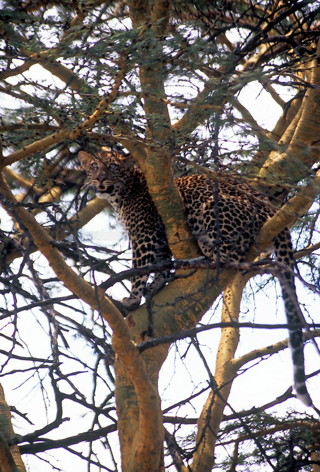 Adolescent leopard in a fever tree fleeing for a pride of lions, Lake Nakuru National Park, Kenya