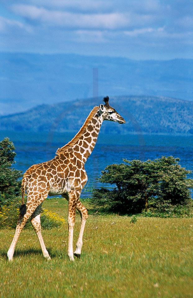 Masai giraffe, Crescent Island Wildlife Sanctuary, Lake Naivasha,  Kenya