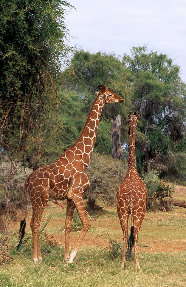 Pair of reticulated giraffes about to mate, Samburu National Reserve, Kenya