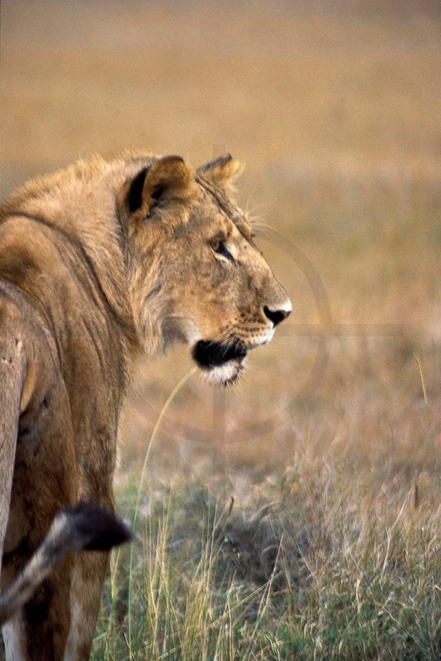 Young male lion, Masai Mara National Reserve, Kenya