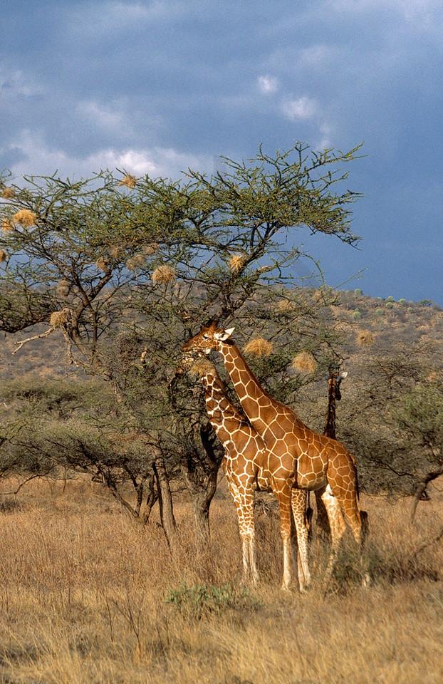 Reticulated giraffes, Samburu National Reserve, Kenya