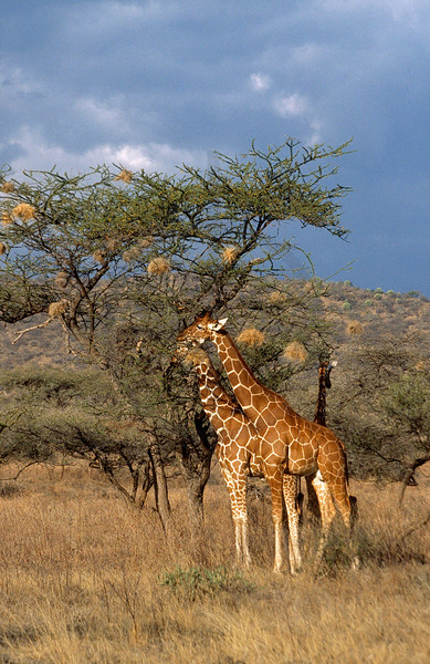 Reticulated giraffes, Samburu National Reserve, Kenya