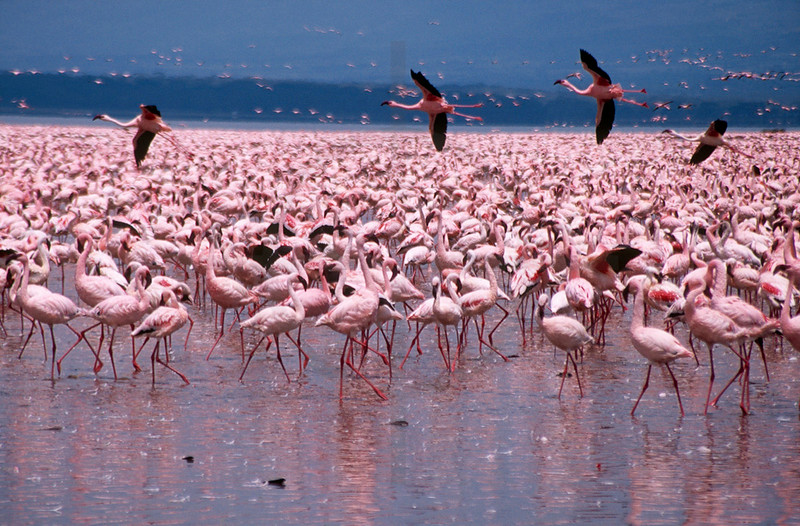 Congregation of lesser flamingoes, Lake Nakuru National Park, Kenya