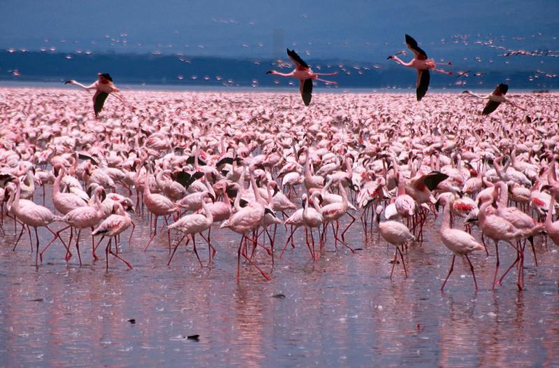 Congregation of lesser flamingoes, Lake Nakuru National Park, Kenya
