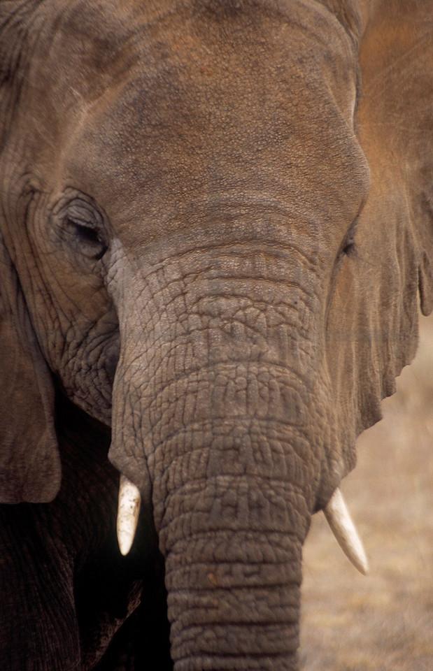 African elephant, Samburu National Reserve, Kenya