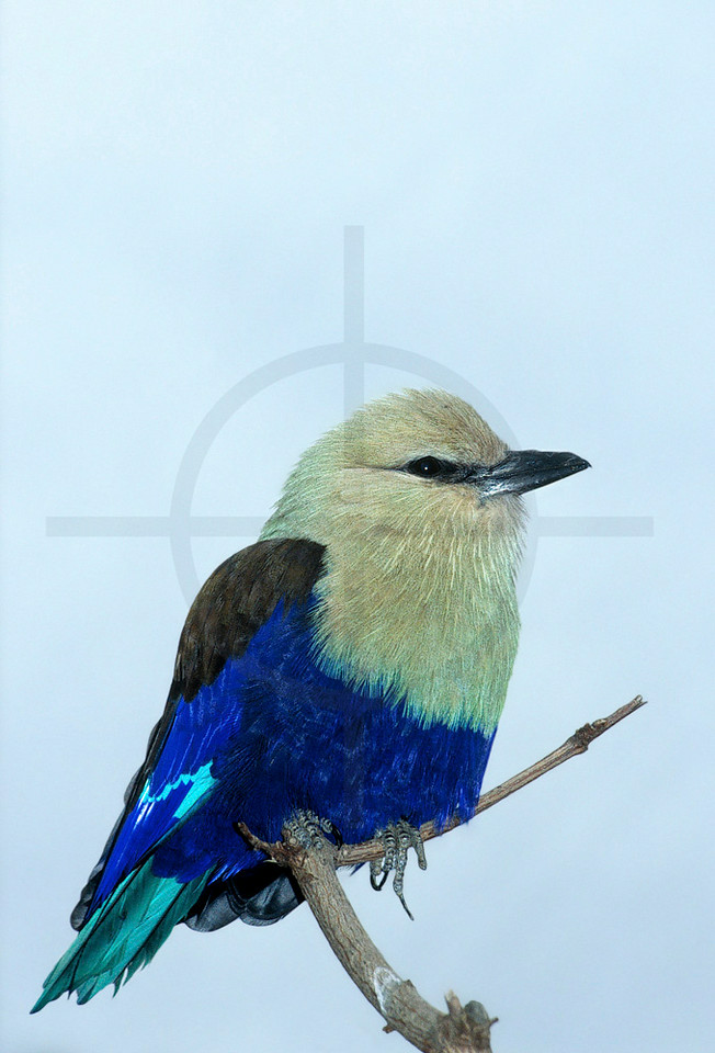 Blue-bellied roller, Patan Zoo, Nepal