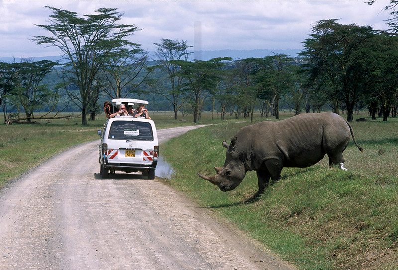White rhino about to cross the road, Nakuru National Park, Kenya