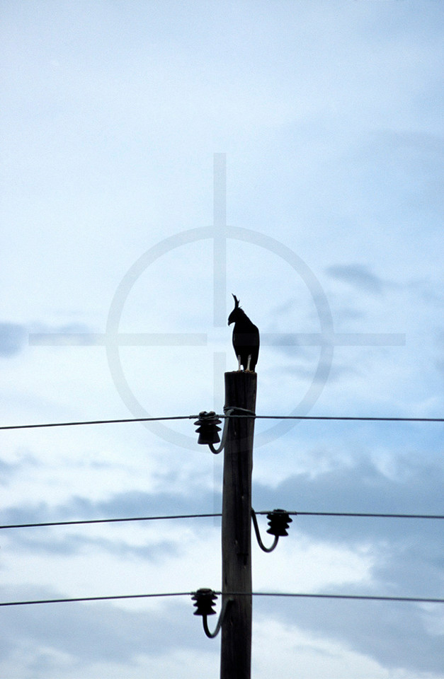 Long-crested eagle in silhouette on an electicity pole, Ethiopia