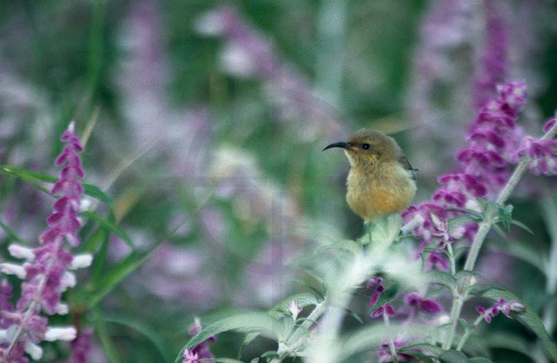 Sunbird, Lalibela, Northern Ethiopia
