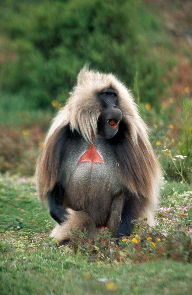 Gelada baboon, Simien Mountains, Ethiopia