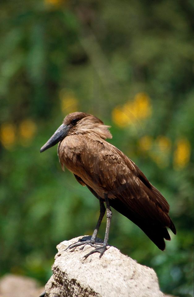 Hamerkop, Lake Ziway, Southern Ethiopia