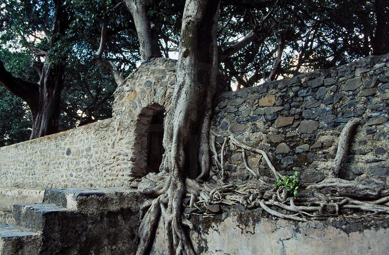 Tree grown into a wall, Fasiladas' Bath, Gonder, Northern Ethiopia