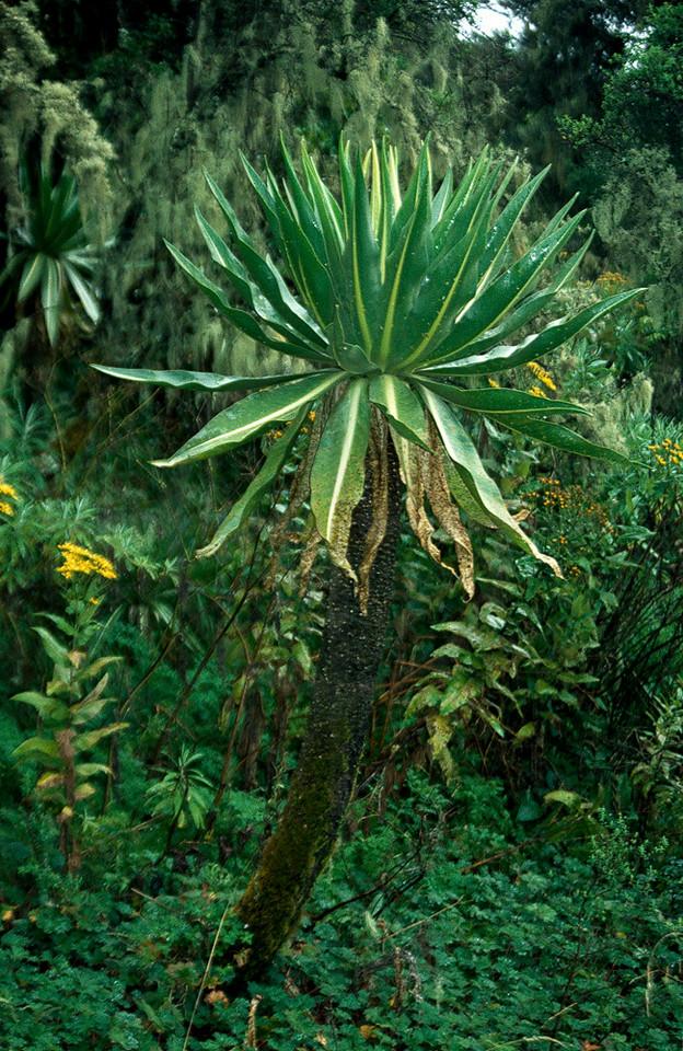 Giant lobelia, Simien Mountains, Northern Ethiopia