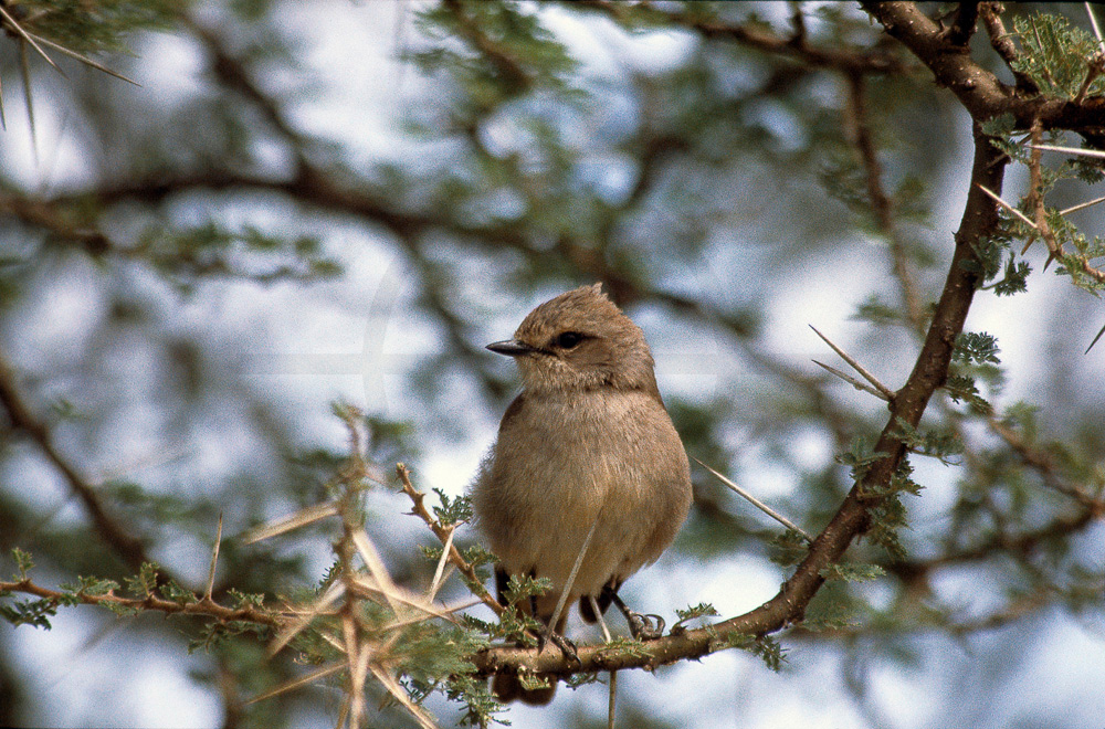 Pale flycatcher perching on an acacia tree, Serengeti National Park, Tanzania