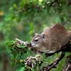 Eastern tree hyrax, Serengeti National Park, Tanzania