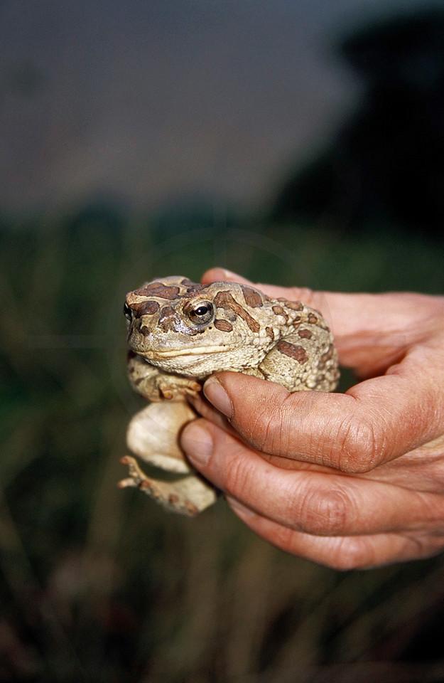 Berber toad on display Atlas Mountains, Morocco