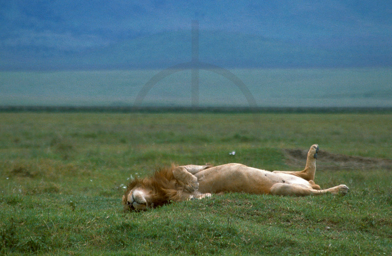 Male lion fast asleep, Ngorogoro Crater, Tanzania