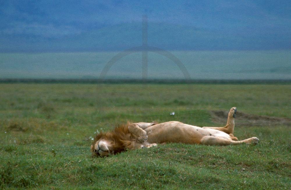 Male lion fast asleep, Ngorogoro Crater, Tanzania