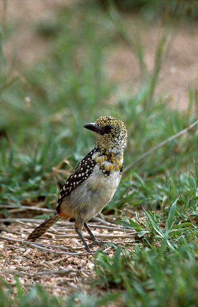 D'Arnaud's barbet, Serengeti National Park, Tanzania