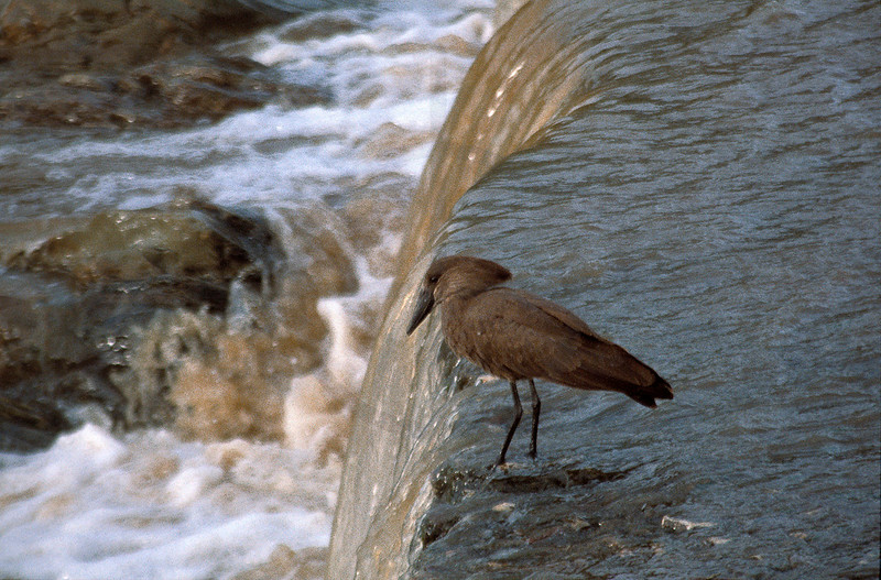Hamerkop in a river waiting for a meal, Serengeti National Park, Tanzania