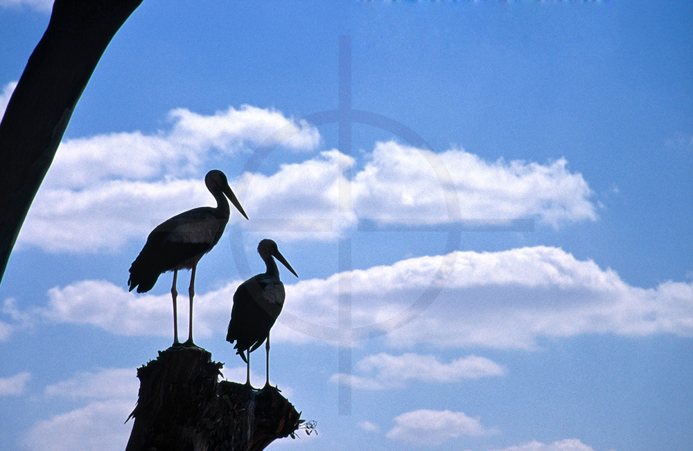 Silhouette of pair of white storks resting in the shade, Marrakesh, Morocco