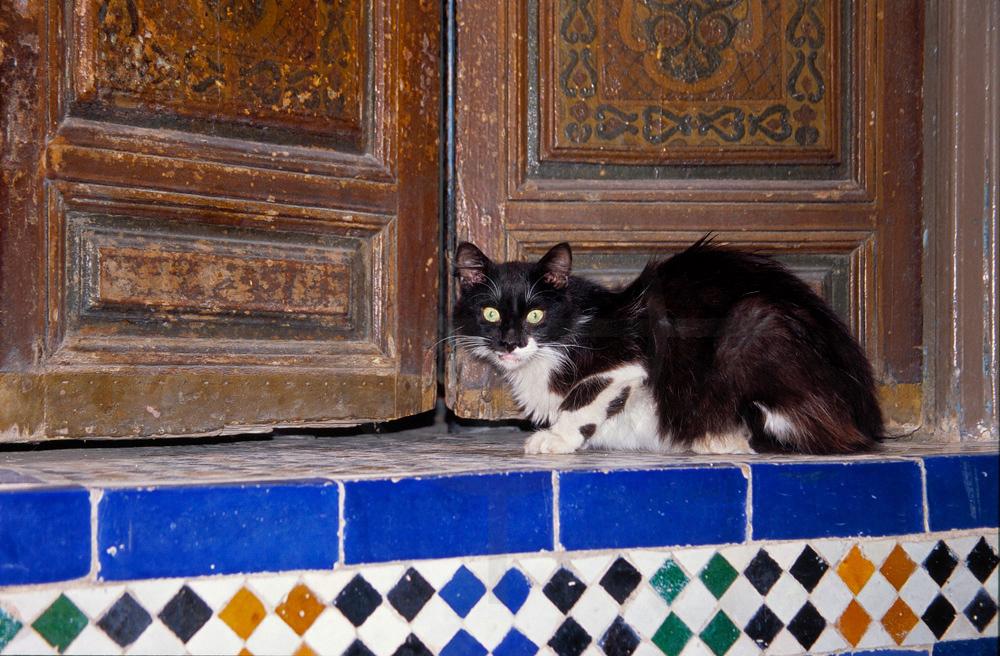 Cat, medina of Marrakech, Morocco