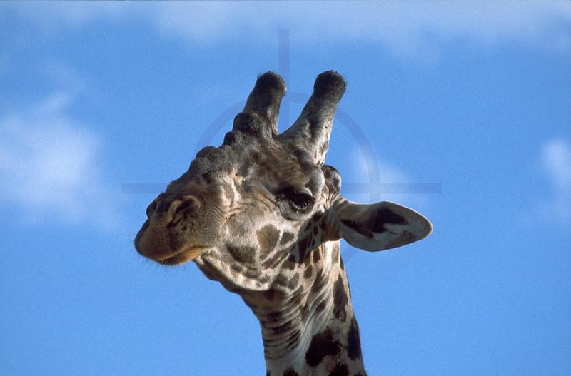 Maasai giraffe, Lake Manyara National Park, Tanzania