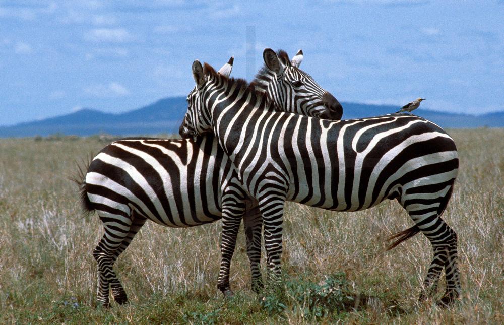 Plains zebra resting during the day, Serengeti National Park, Tanzania