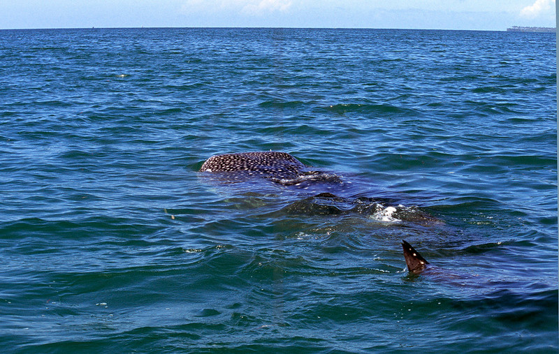 Juvenile whale shark feeding, Indian Ocean near Mafia Island, Tanzania