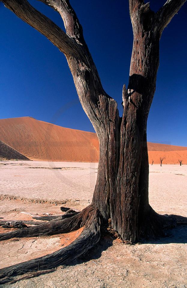 Dead acacia in Dead Vlei, Namib Naukluft National Park, Namibia