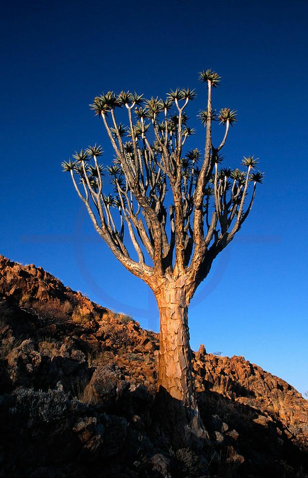 Quiver tree, Brandberg, Namibia